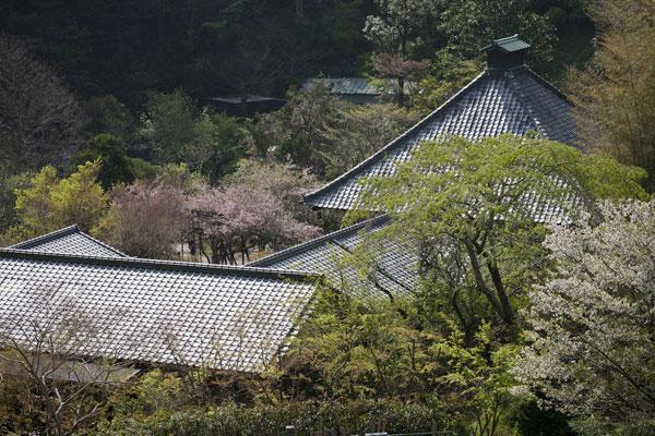 春の光則寺。海棠(カイドウ)や桜が咲いています。