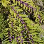 コムラサキの実。9月に花が咲き、秋に実をつけ12月まで見る事ができます。
