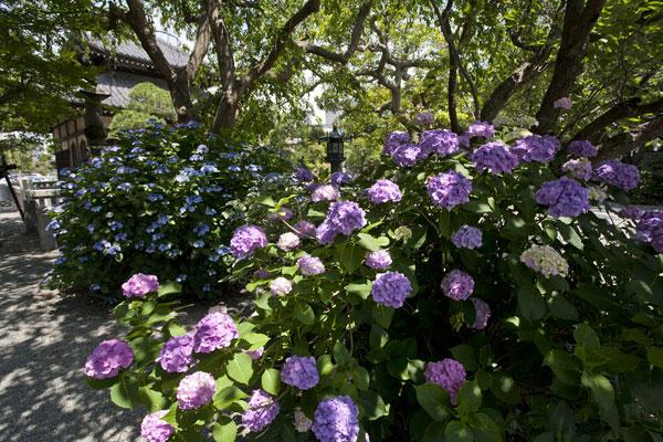 本覚寺はあじさいの名所でもあります。枝垂桜の根本あたりに2株、御分骨堂の左手に1株、夷堂橋へと抜ける途中、山門の側に1株あります。