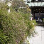 9月から10月にかけては萩が咲きます。
