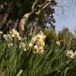 水仙も香りよく咲いています。