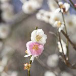 """""""想いのまま""""と名付けられた梅。白梅にきまぐれな桃色の花がいくつか咲きます。"""