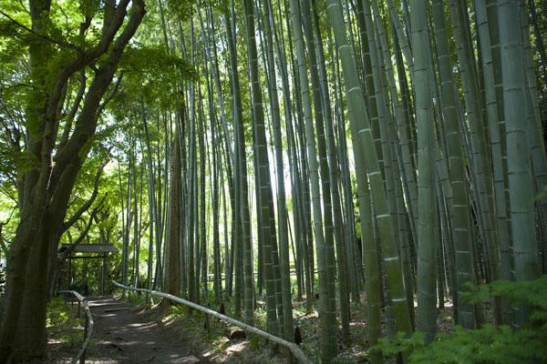 英勝寺境内の竹林。