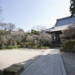 宝戒寺境内。本堂前に2本、立派な枝垂梅があります。