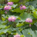 浄土宗の根本道場として名高い光明寺の庭園に咲く、古代蓮。