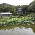 光明寺記手庭園の蓮は古代蓮(大賀蓮)として有名です。1951年(昭和26年)大賀一郎博士が千葉県の地層から発見した縄文時代の蓮の実から発芽させました。鎌倉最大級の大伽藍に咲く古代の蓮はとても逞しい魅力に溢れています。