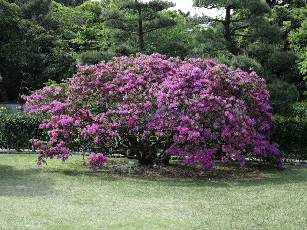 鎌倉文学館の躑躅(ツツジ)。薔薇園の前に咲く、かなりの大木です。