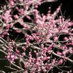 冬の寒さが残る空気が梅の可憐さを引き立てます。