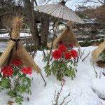 神苑牡丹園。平成26年(2014年)2月8日から9日にかけて東日本の太平洋側が記録的大雪に見舞われ東京都心でも積雪27cmとなり、ここ鎌倉もまた多くの寺社や店舗が休業するなか、牡丹園は雪と牡丹の風情を求める見物客で賑わっていました。