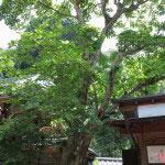 佛日庵には1933年(昭和8年)、魯迅より寄贈された木蓮(モクレン)があります。