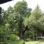 寿福寺の柏槙(ビャクシン)。鎌倉市の天然記念物に指定されています。