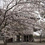 高さ20m、間口16m、奥行7mという鎌倉最大の山門を抜けるとすぐ桜が迎えてくれます。