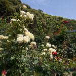 春と秋には庭内の薔薇園も大きな楽しみ。この景色に本物の洋館に薔薇。完璧です。