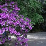 鎌倉文学館の躑躅(ツツジ)。館の入口、新緑と大紫の鮮やかな色があいます。