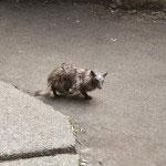 本物の狸が現れました。昔鎌倉ではよく家の側で見かけたのですが、最近あまりみないので久しぶりでした。野生の動物はとても愛着がわきます。
