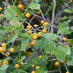 ツルウメモドキ。熟れてくると黄色の皮が向けて、朱色の実が出てきます。色合いが美しく、生け花などに使われます。