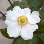 ショウメイギク。秋明菊と書きます。その名のとおり、9~10月の秋まっさかりに開花します。紅紫のものもありますが、白の方がふっくらとしています。