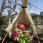 神苑牡丹園。4月〜5月中旬、春の見頃を迎えた牡丹。印象深いのは雪化粧ですが、春の陽光とともに見るのもまた心地よいです。