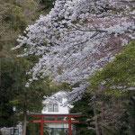 舞殿手前の道を左にいくと高さのある桜があります。ちなみにここを右手にいくと境内を出たところ、横浜国大附属小学校校庭にある桜も楽しめます。