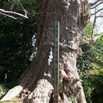 荏柄天神社の大銀杏。胴回り10メートル、鎌倉一の大銀杏です。