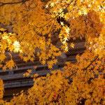 円覚寺の紅葉。紅葉は赤が目立ちますが、黄色系もとても暖かくてきれいです。紅葉越しに山門をのぞみます。