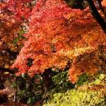 円覚寺の紅葉は葉が艶っぽい気がします。乾いていない感じです。