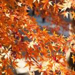 山門を抜けてすぐの紅葉。