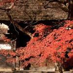 茅葺きも葺きたてよりも、色が馴染んできたくらいが紅葉とあいます。