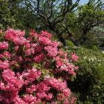 浄妙寺の石楠花(シャクナゲ)。浄妙寺の石楠花(シャクナゲ)。