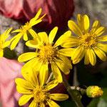 10月頃に花を咲かせるツワブキ。華やかさと慎ましさが同居した様に惹かれます。