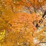 あわい橙色が好きなので、紅葉初期の散策が楽しみです。