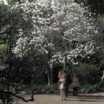 宝戒寺の白木蓮(ハクモクレン)。春先、3月に咲きます。花が全開しないのが、辛夷(コブシ)との違い。