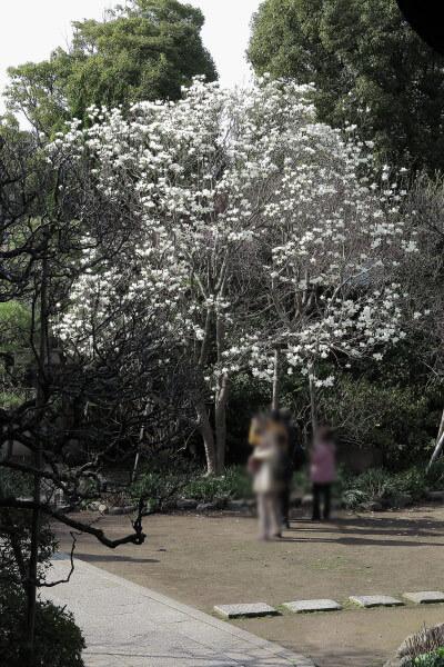 宝戒寺の白木蓮(ハクモクレン)が見頃です。花が全開しないのが辛夷(コブシ)との違い。