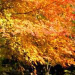 紅と黄色、橙色が調和した紅葉。人間なんて葉っぱ一枚作ることができない動物なんだということを思い知らされます。