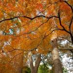 鎌倉宮の紅葉は全体的に穏やかな感じがします。
