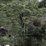 鳥居の右側に鎌倉市指定天然記念物の招霊木(オガタマノキ)があります。中国原産のカラタネオガタマノキではなく、日本原産のオガタマノキです。