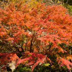 山が迫っている明月院は山の紅葉がすぐそばに。