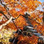 妙本寺の梵鐘の屋根にかかる紅葉。