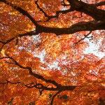 東慶寺の紅葉。我々人間なんて進歩したつもりで葉っぱ一枚作れないのだとか考えてしまいます。