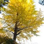 銀杏の大木の黄。大きさに圧倒されます。