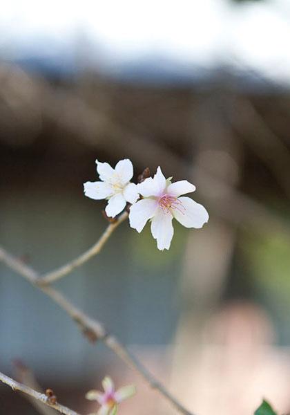 瑞泉寺の冬桜。森々とした雰囲気によく似合います。
