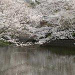 鶴岡八幡宮、源平池の桜。