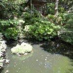 熊野権現の脇には泉鏡花の寄進による池があります。