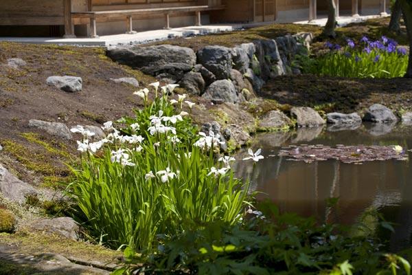 海蔵寺カキツバタ