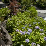 鎌倉宮のあじさい。最初の鳥居を入るとすぐ、左手のスロープに咲くあじさい。