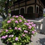 本覚寺、御分骨堂前の左手に咲くあじさい。ピンクが目立ちます。あじさいは色の豊富さが魅力のひとつ。