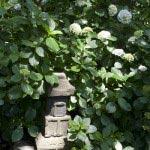 鎌倉宮のあじさい。多宝塔にあじさいがかかります。