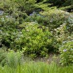 安国論寺本堂の正面には各種のあじさいが植えられています。
