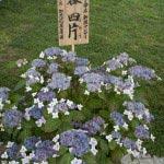 長谷寺のあじさい。長谷寺にて命名された新種の紫陽花。長谷四片(よひら)。作出:加茂花菖蒲園。