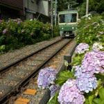 御霊神社のあじさい。線路に向かって咲くあじさいと江ノ電。